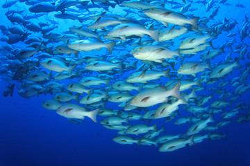 School of Snapper fish