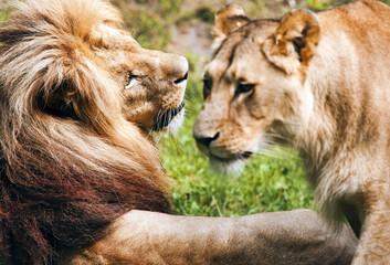 Romantic pair of lions