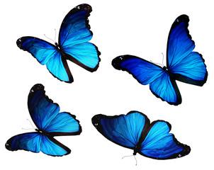 Four morpho blue butterflies flying, isolated on white backgroun
