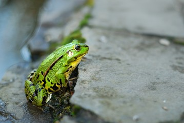 Frog on the rocks near a pond