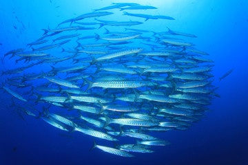 School of Barracuda fish