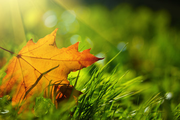 Fall leaf on green grass background