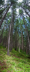 Papiers peints Forets Coniferous forest
