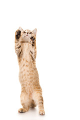 Funny brown cat jumps up, isolated on white