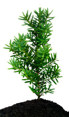 yew seedling ( Taxus cuspidata )