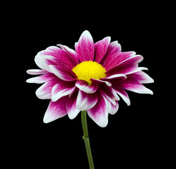 Purple Dahlia flower with yellow center isolated on black