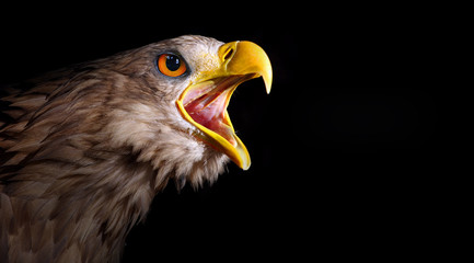 Fototapete - Screaming eagle.