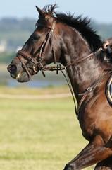 beau cheval bai