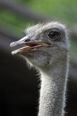 ostrich, straus