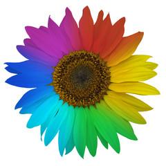 Open blossom of rainbow sunflower