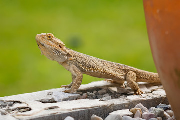 A Bearded Dragon Lizard looking around on the wall.