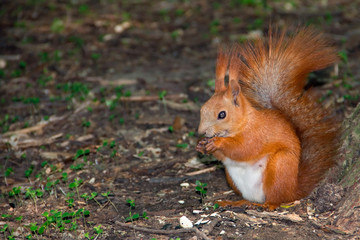 Red squirrel eating nuts close up
