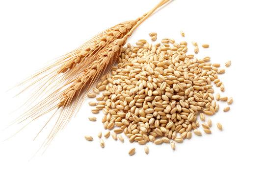 wheat ears with wheat kernels