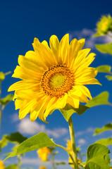 Sunflower on a farmer field