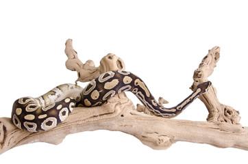 Mojave Royal Python