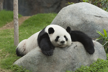 Aluminium Prints Panda Giant panda bear sleeping