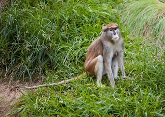 Patas Monkey sitting on grass
