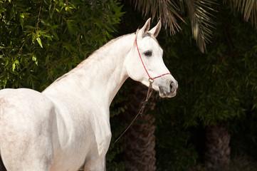 Arabian Horse on a pasture