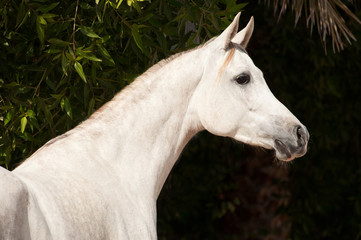 Arabian Horse on a pasture