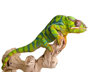 Photo sur Aluminium Cameleon Colorful chameleon