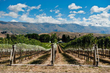 Aluminium Prints New Zealand Vineyard in Central Otago, New Zealand