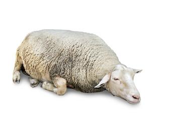 Sleeping sheep on white