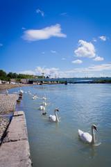 Cygnes sur le Rhône