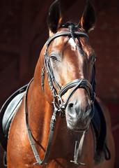 portrait of beautiful dressage horse
