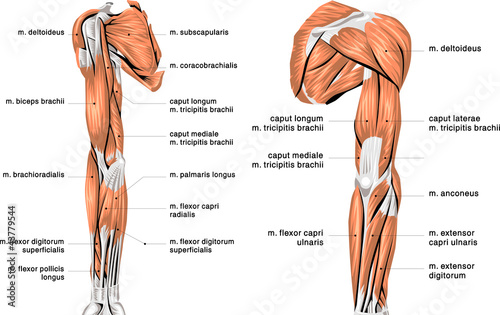 arm muscles – citybeauty, Human Body