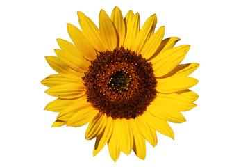 makellose natürliche Sonnenblume auf weiß