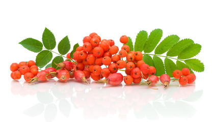 a bunch of rowan berries and rose hips on a white background