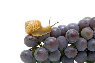 Snail on a young bunch of grapes