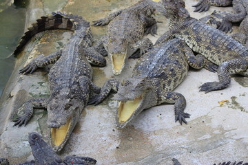 group of large freshwater crocodiles