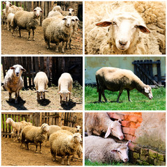 Sheeps on farm