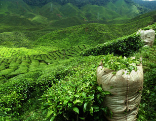 Wall Mural - green tea plantation landscape
