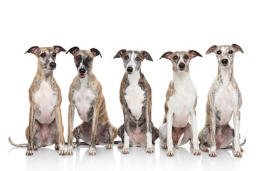 Group of whippets sits on a white background