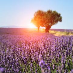Obraz Lavender field in Provence, France - fototapety do salonu