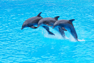 Foto op Canvas Dolfijnen Leaping Bottlenose Dolphins, Tursiops truncatus