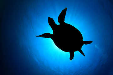 Silhouette of Hawksbill Sea Turtle