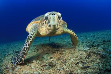 Sea Turtle (Hawksbill)