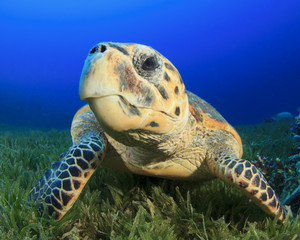 Close up of face of Hawksbill Sea Turtle