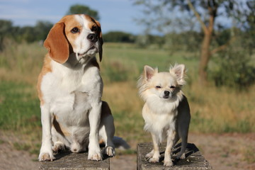 beagle and chihuahua in a field