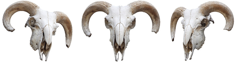 Skeleton sheeps head with horns