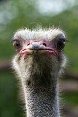 ostrich, straus, bird