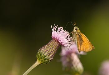 butterfly Ochlodes sylvanus