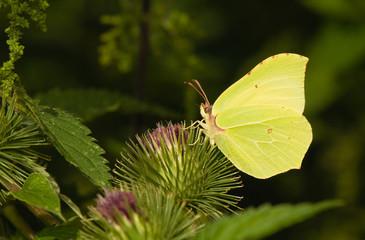 butterfly Brimstone Gonepteryx rhamni
