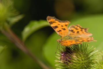 butterfly Polygonia c-album
