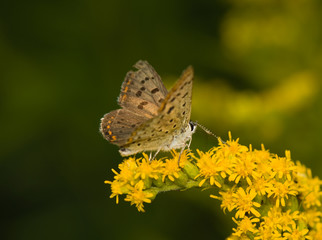 butterfly Lycaena tityrus