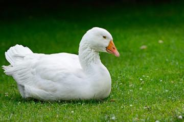 Goose resting on green grass.