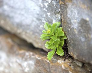 Sukkulente in Steinmauer